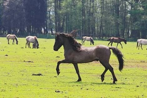 Dulmen Pony