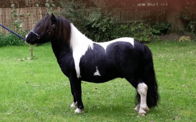 """Image result for Shetland horse"""""""