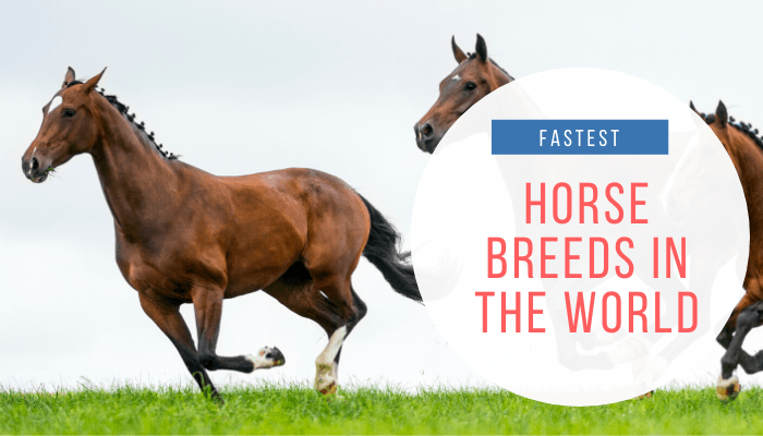Fastest Horse Breeds