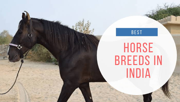Horse Breeds in India