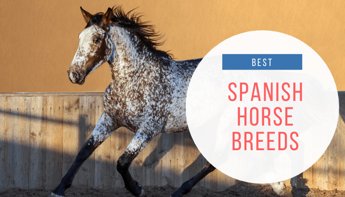 Spanish Horse Breeds